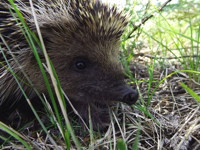 Daurian hedgehog (lat. Mesechinus Dauuricus). It's listed in the Red book of Russian Federation. Animals In The Wild Nature Transbaikalia Summer Red Book Hedgehog One Animal Wildanimal Забайкалье