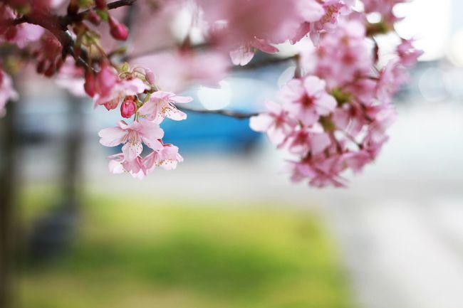 Showcase April また来年 桜 EyeEm Nature Lover EyeEm Best Shots ここ数年頭の中にある Japan Nature イメージ通りに全く撮れなくて Spring 来年こそは!!と うるさい From My Point Of View 来年も思ってる事が容易に想像できてなりませぬ フィルターかけると迷うからスッピン 🌸