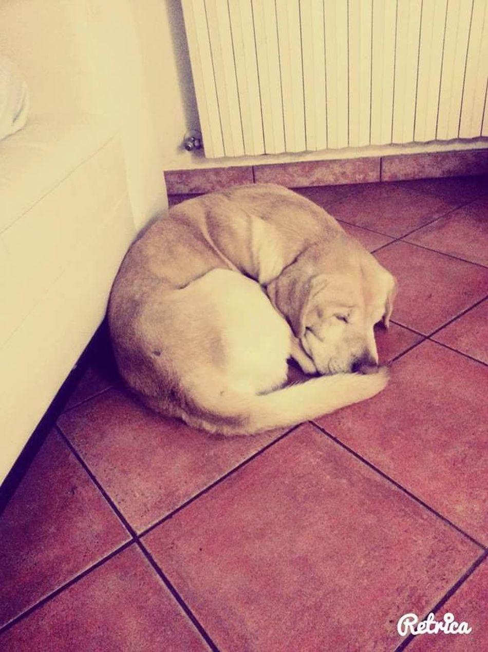 Labrador Sleeping Sleeping Dog Sonno Lucky❤ Nanna