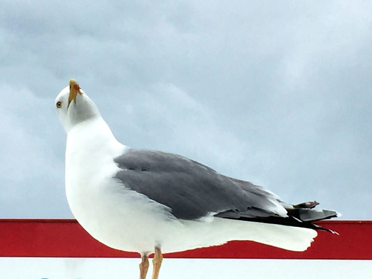 Animal Themes Bird Sky One Animal Animals In The Wild Cloud - Sky Low Angle View Animal Wildlife Nature Day Outdoors Gull