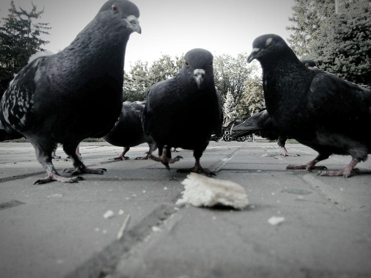 Bird Animal No People Animal Themes Outdoors Rostov-on-Don Ростов-на-Дону Close-up город Pigeons Doves Square голуби кормитьголубей птицы площадь
