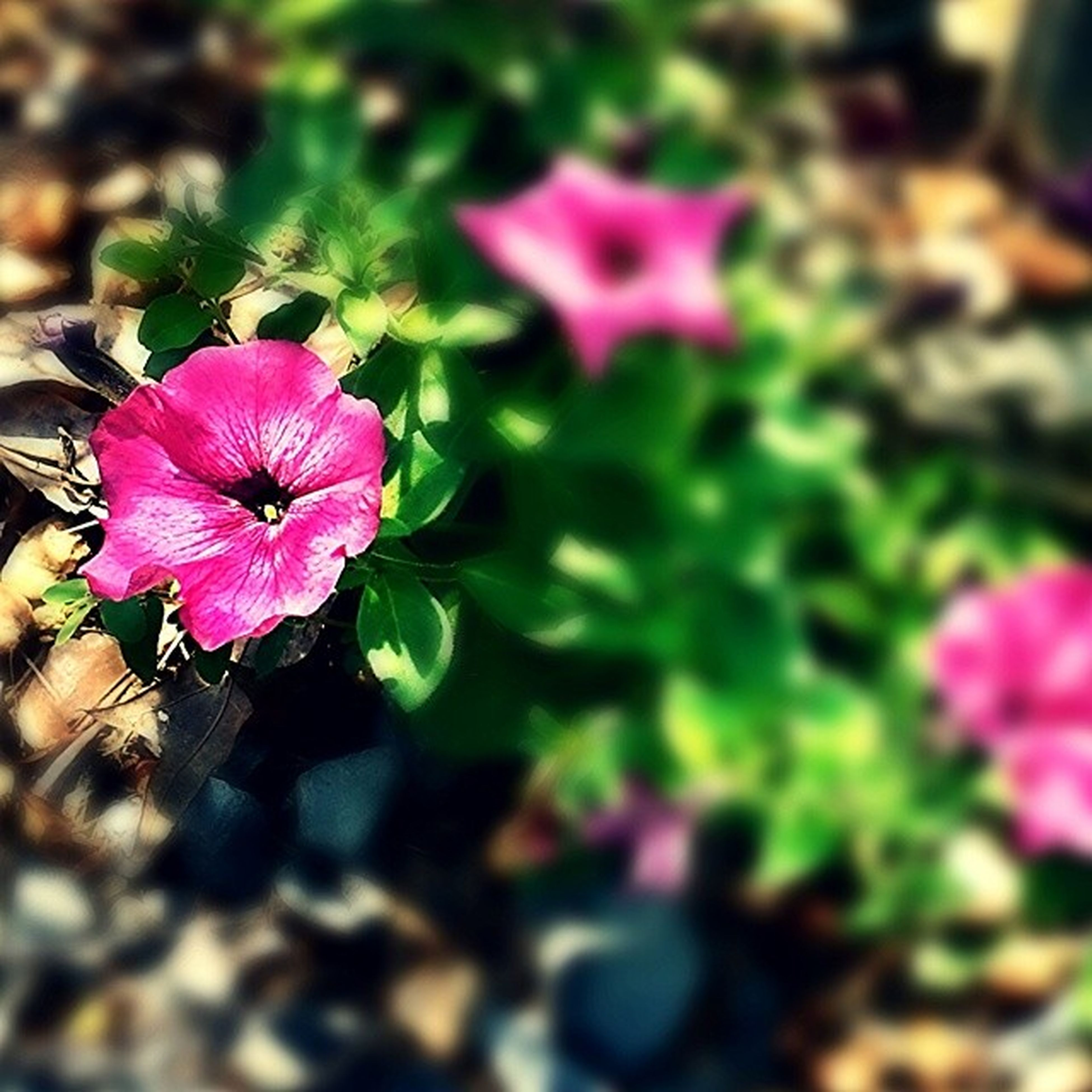 flower, freshness, petal, fragility, growth, flower head, beauty in nature, plant, pink color, blooming, close-up, nature, focus on foreground, leaf, purple, in bloom, selective focus, high angle view, outdoors, day