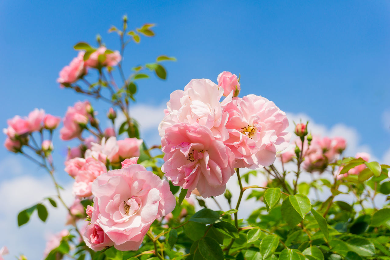 View on beautiful pink Roses in Sunlight. Pink Roses in front of a blue Sky Background Beauty In Nature Blooming Flowering Flowers Fragile Fragility Garden Garden Flowers Growing Growth Happy Nature Pink Pink Color Pink Flowers Plants Roses Rosé Sunlight Sunshine