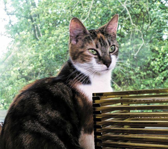 Lusso Cats Tortoiseshell Cat Queen Cat Pretty
