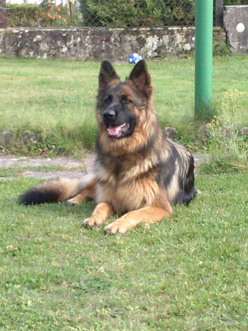 dog, grass, german shepherd, pets, one animal, domestic animals, outdoors, animal themes, day, mammal, no people, portrait, nature