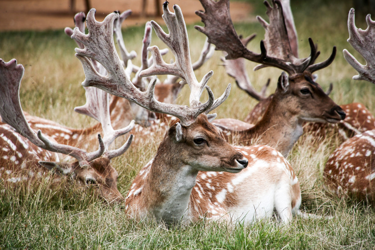 Close-Up Of Relaxed Deer