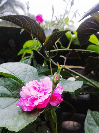 Rose - Flower Rain Pink Color Nature Plant Leaf Day Close-up No People