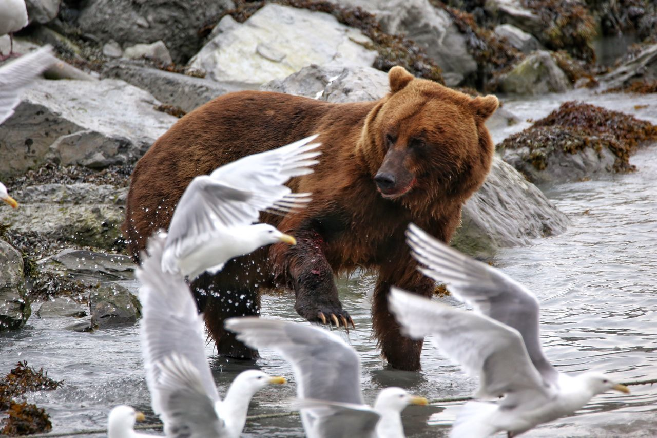 Annoying gulls going after this grizzly bear's fresh salmon catch in Valdez, Alaska. Grizzly Bear Alaska Wildlife Gull Angry Chasing
