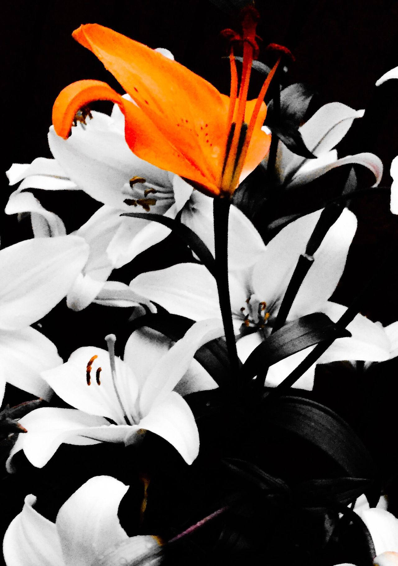 Lily Lilies Orange Flower White Flower Beauty In Nature No People EyeEm Nature Lover Orange Flowers Flowers_collection Flowers In My Garden Flowers, Nature And Beauty Lilies In Bloom Orange Filter