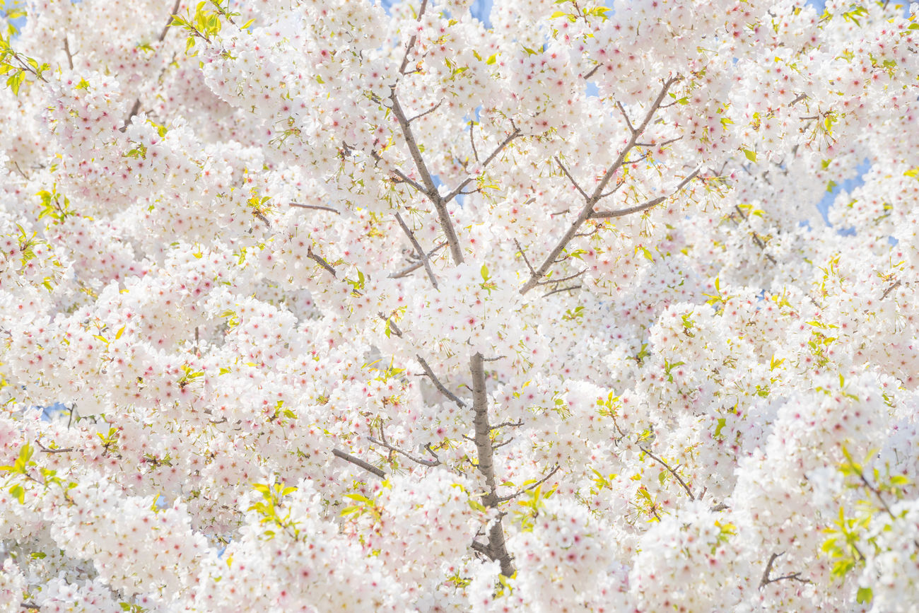 White Sakura or Cherry blossom in Chidorigafuchi, Tokyo, Japan Almond Tree Apple Blossom Background Backgrounds Beauty In Nature Blossom Branch Cherry Blossom Cherry Blossoms Cherry Tree Chidorigafuchi Flower Flower Head Fragility Freshness Full Frame Growth Japan Nature No People Pink Color Sakura Springtime Tree White Color