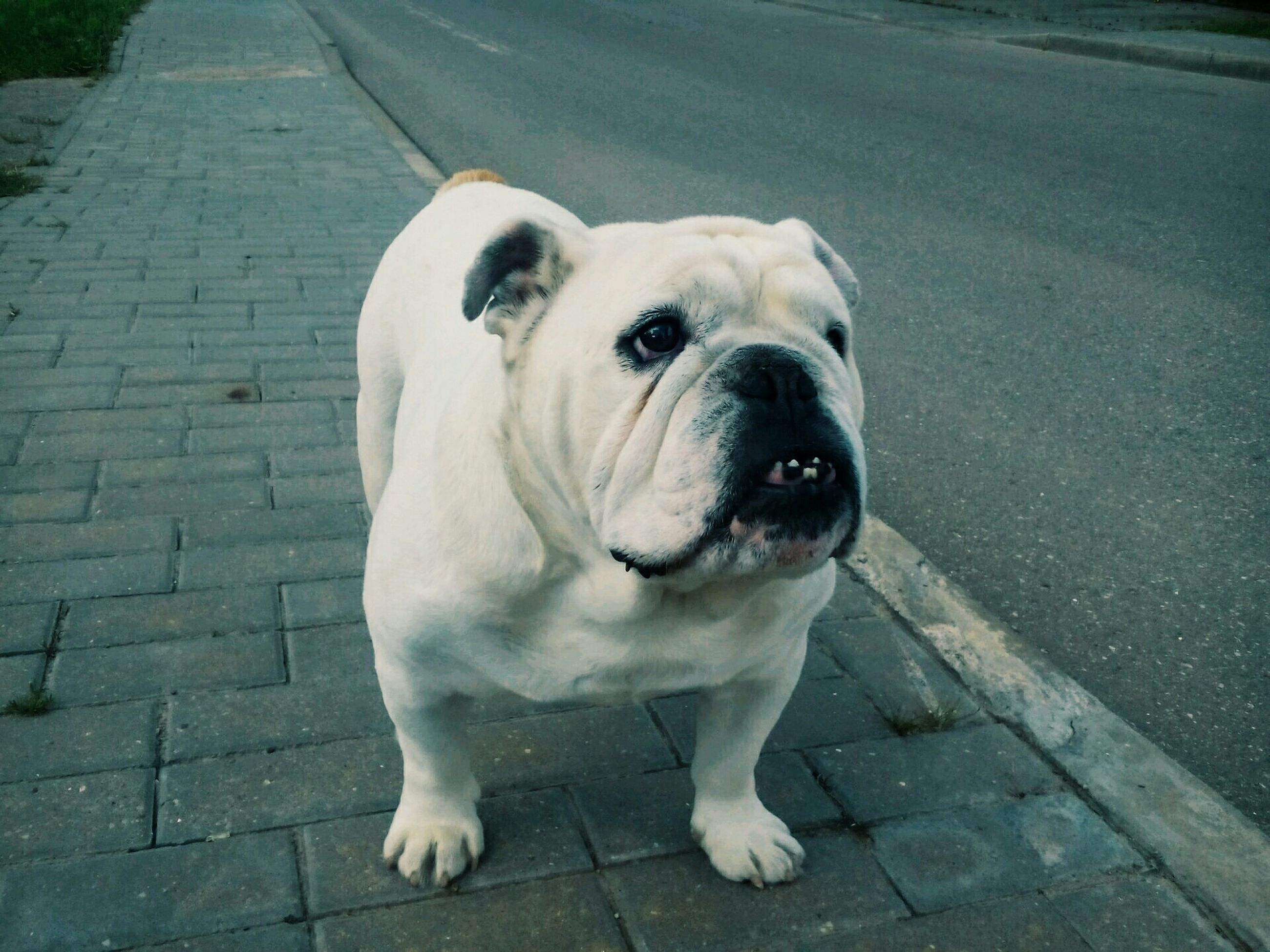 one animal, animal themes, pets, dog, domestic animals, mammal, portrait, high angle view, looking at camera, street, white color, footpath, sidewalk, close-up, animal head, outdoors, cobblestone, sitting, day