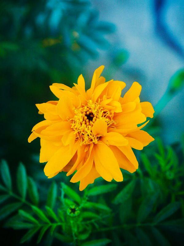 Yellow.. Flower Blooms Blosssom Plant Yellow Green Macro Macro Photography Beauty In Nature Macro Nature Nature Botany