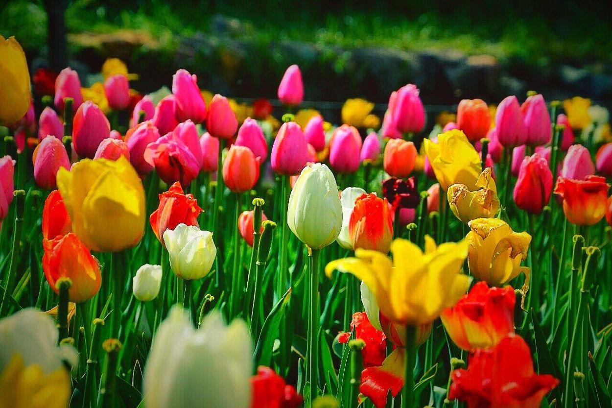 لاله Tulips🌷 Iran Nature Garden 🌷 Flowers 🌹 Gardening