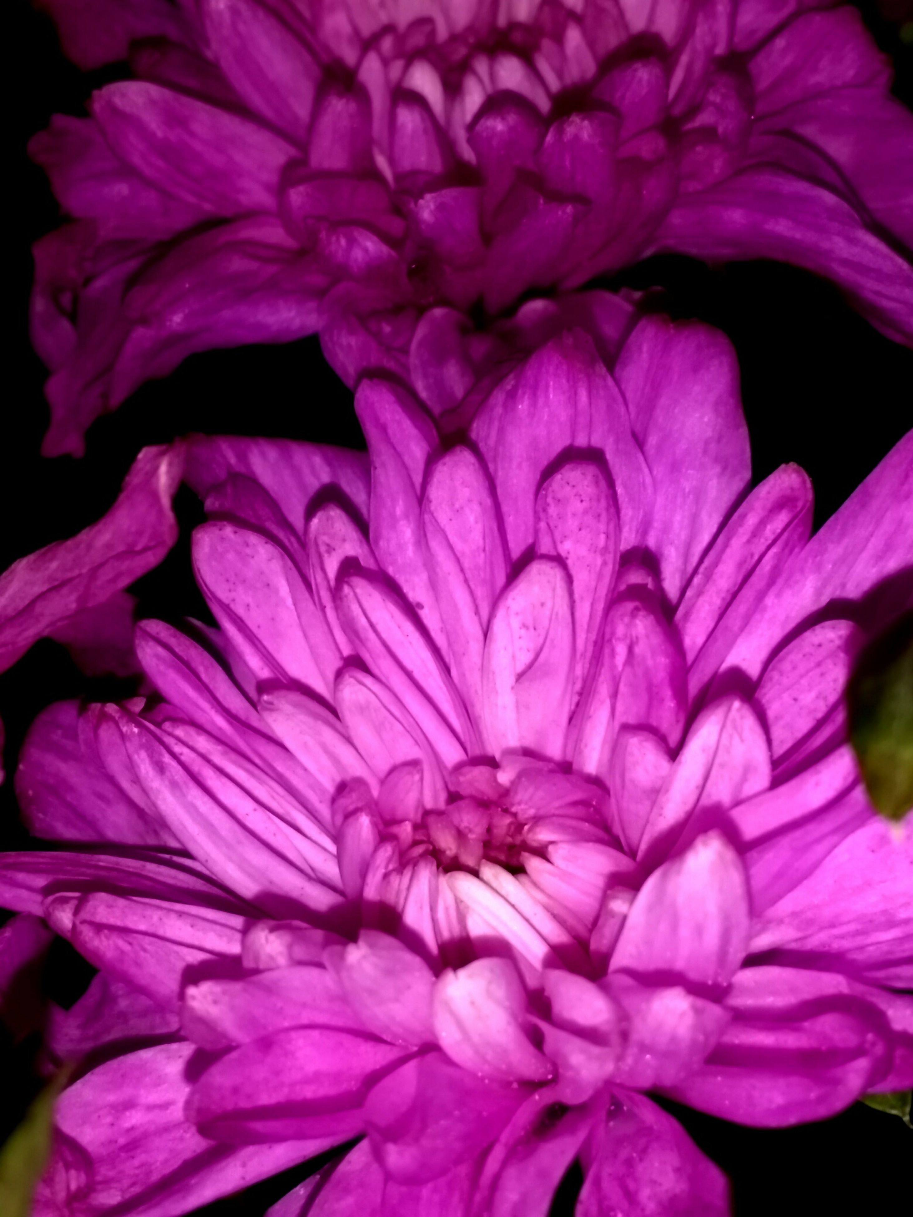 flower, beauty in nature, flower head, fragility, petal, close-up, nature, freshness, pink color, no people, growth, plant, blooming, outdoors, day, chrysanthemum, backgrounds