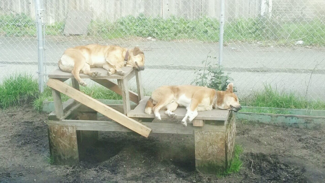 Sleeping On The Job Guard Dogs Animal Themes Domestic Animals Pets Nap Time Break Time