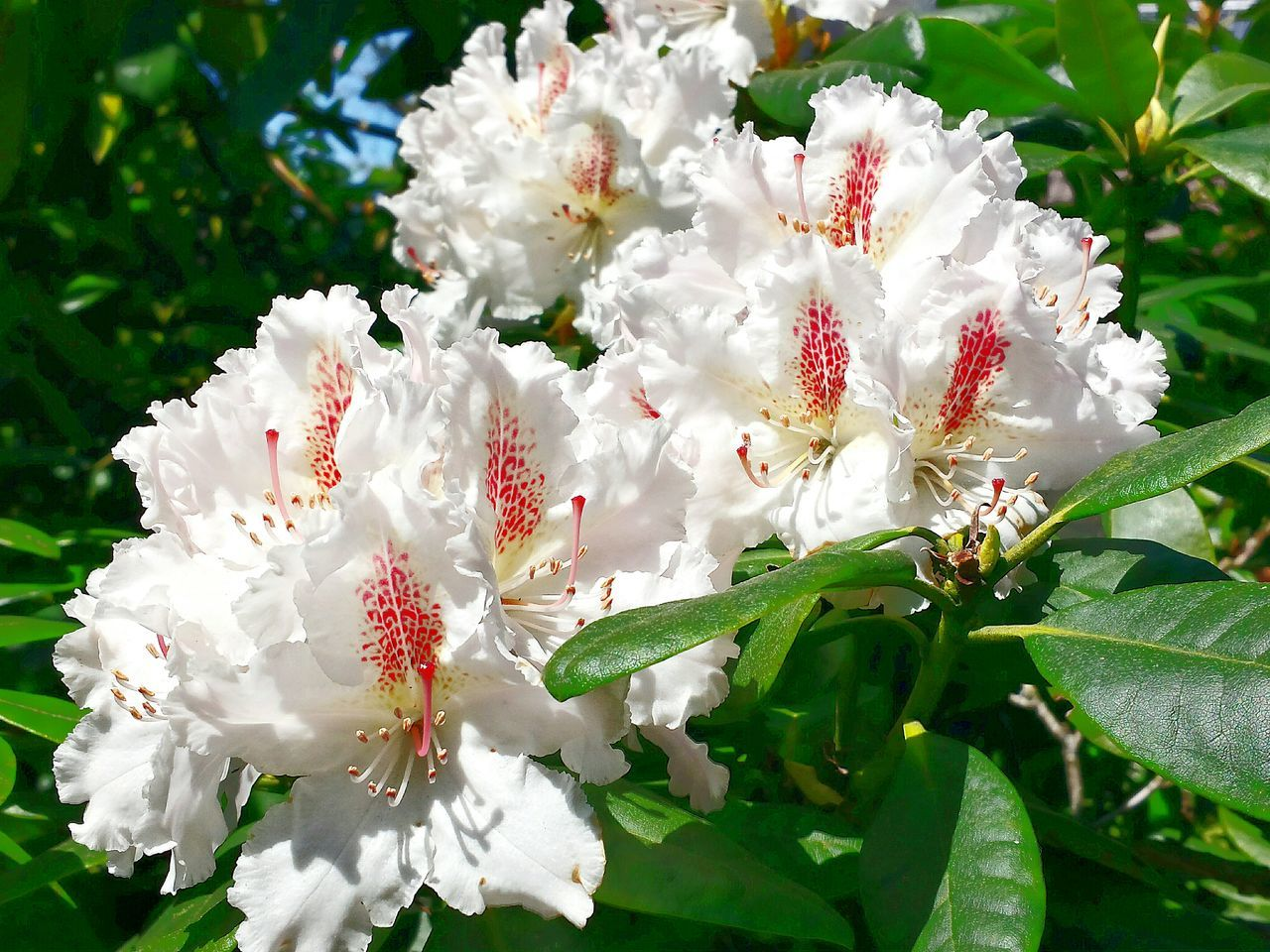 White Rhododendron Full In Blossom Beautiful Nature Ladyphotographerofthemonth Nature's Diversities Wonderful Nature Blütenzauber Zauber Des Frühlings Blütenschönheit Blütenzart Blossoming Beauty Sunkissed Blütenrausch Blossoming Magic Studies Of Botany Magical Blossoms Rhododendron Blossoms In Voller Blüte Studies Of Whiteness White Album Beliebte Fotos Rhododendron Learn & Shoot: Layering Learn & Shoot: Composition Still Life