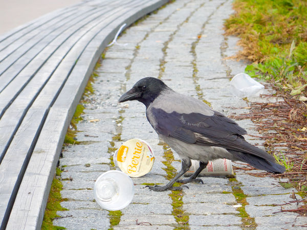 Grey crow taking care of trash summer 2015 in Ratina, Tampere. Adapted To The City Bird Birds Food Crow Food Garbage Gray Gray Crow Inventive Kekseliäs Linnun Ruokaa Lintu Litter Outdoors Roska Ruoka Smart Bird Snack Summer Trash Varis Välipala