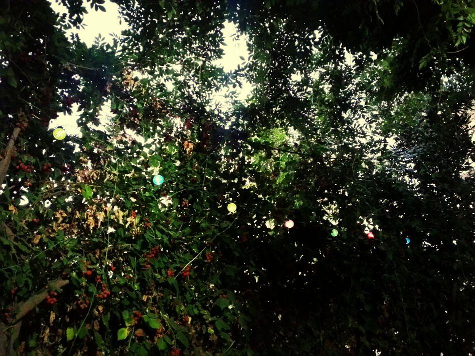 Böğürtlen ağacı