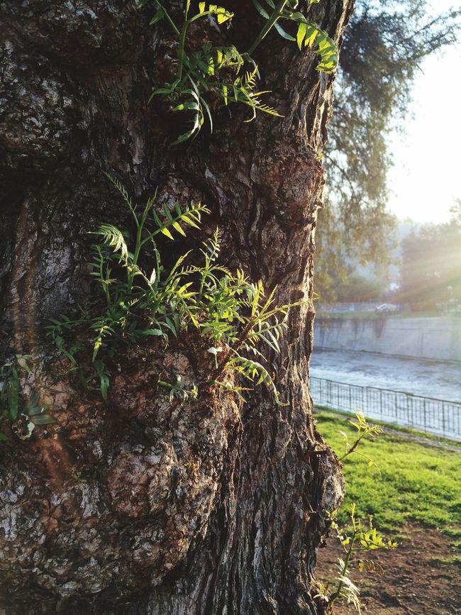 Tree Trunk Textured  Rough Close-up Nature Focus On Foreground Beauty In Nature Plasticities Growth Inside The City Força Da Vida Arvore Tronco Natureza Naturaleza Santiago De Chile Beleza Natural