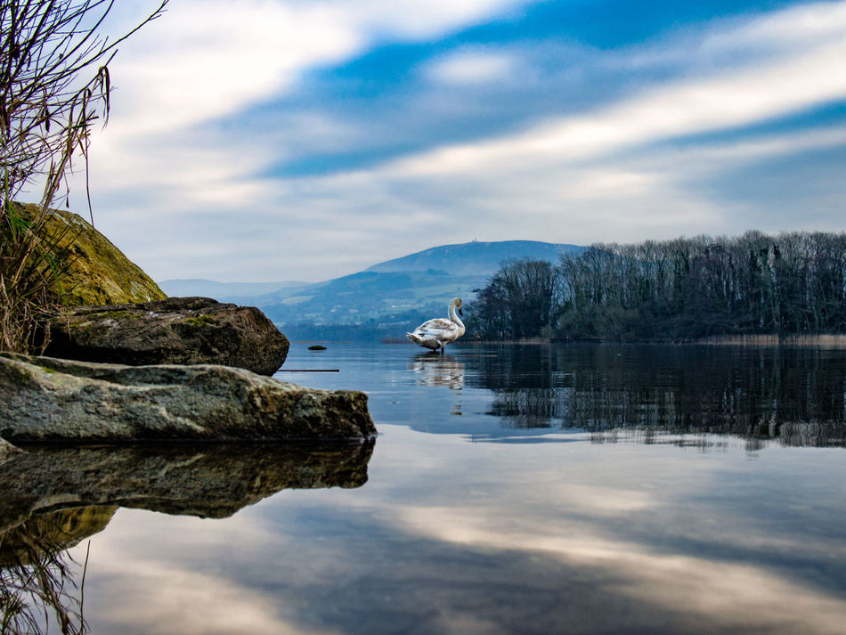 Lough Derg Ireland Swan Reflection Water Lake Cloud - Sky Tranquility Beauty In Nature Outdoors Day Nature Tree No People Lough Landscape Landscapes Sky