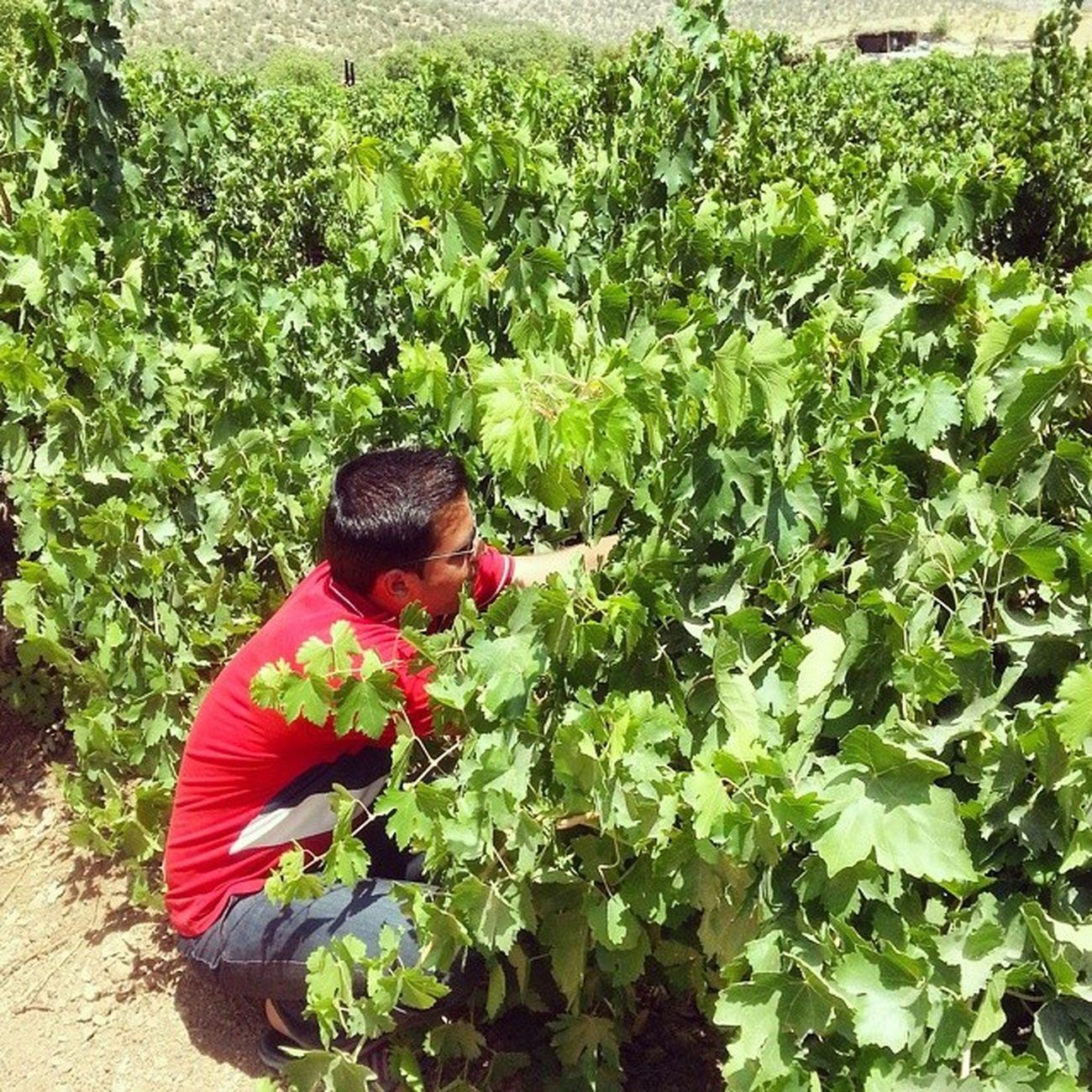 در حال چیدن انگور شیرین تو باغ 😃 مشغول دزدکی خوردن بودیم که صاحبش داد زد و ما هم فرار لردگان یاسوج پ.ن: چادرشون اون بالا عکس معلومه 😄😄