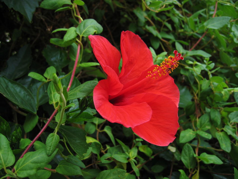 2003 Beauty In Nature Close-up Day Flower Flower Head Growth Hibiscus Nature Outdoors Petal Red Santa Margherita Di Pula Sardegna