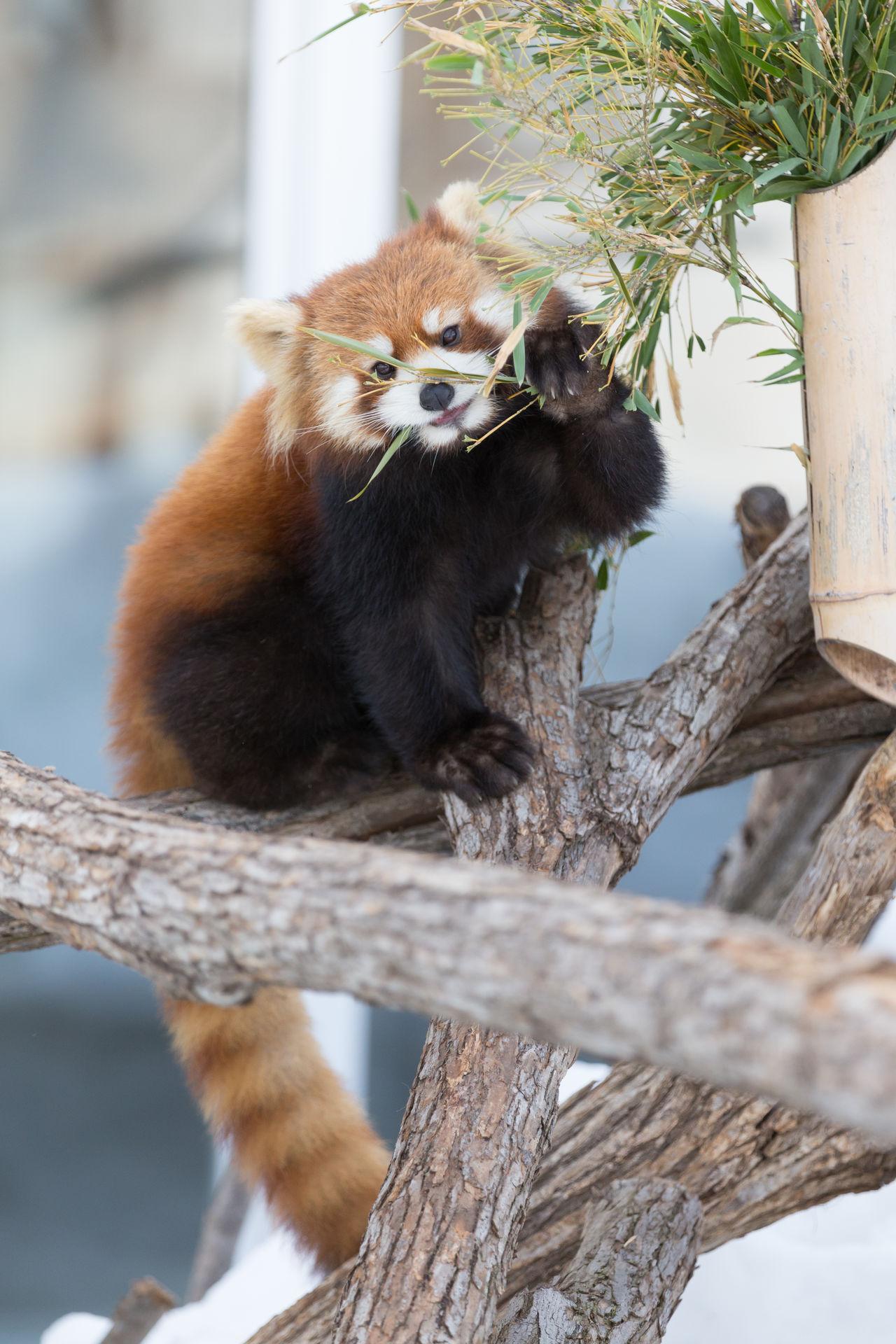 Ailurus Fulgens Animal Animal Themes Animals Branch Climbing Day Lesser Panda Mammal Nature No People One Animal Outdoors Red Panda Redpanda Tree Zoo