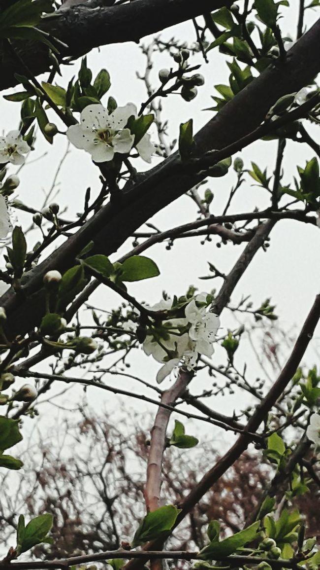 Sakura Blossom Springtime Palmerston North Nz
