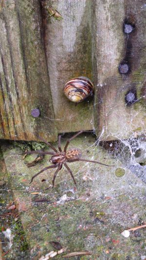 Scary Scary Spider Spider Legs Lots Of Legs 8 Legs Eight Legs House Spider Snail Nature Nature_collection Nature Photography Cobweb Fence Nails Creepy Crawly Creepy Crawlies Creepy Crawly Spider In The Web Spiders Web
