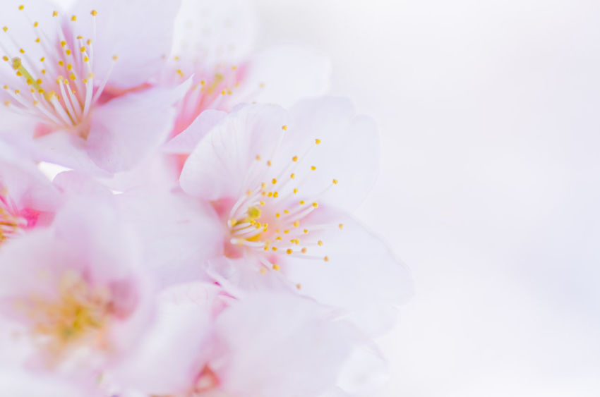 Backgrounds Beauty In Nature Blossom Close-up Day Flower Flower Head Fragility Freshness Full Frame Growth Nature No People Outdoors Petal Pink Color Pollen Springtime Stamen White Background White Color