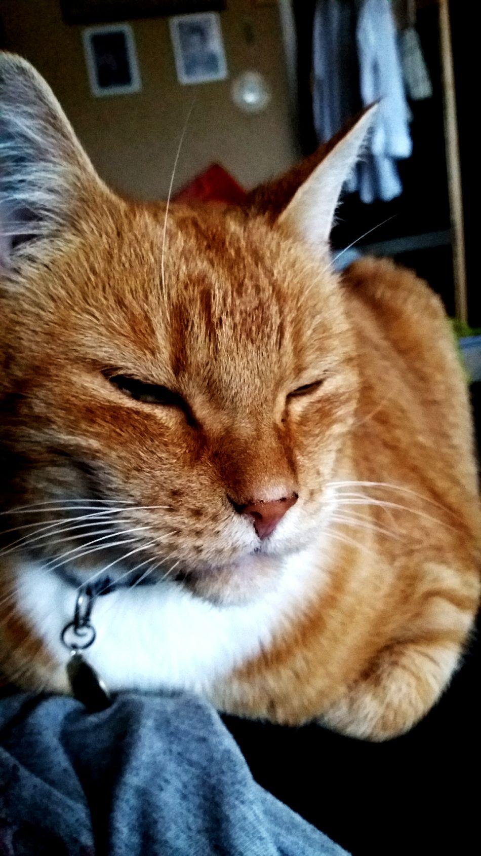 Relaxing Cat Furrylove Furryfriend Redcat