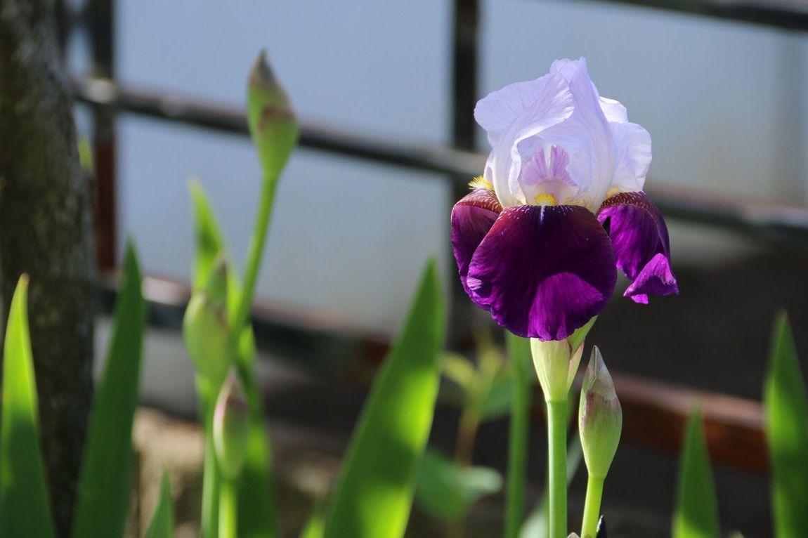 庭にアヤメが咲いた。調べてみるとジャーマンアイリスってやつっぽい。 あやめ German Iris Canon EOS 70d Sigma 18_300mm Photo