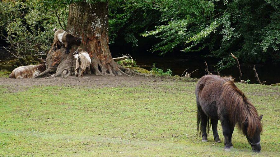 Horse Pony Shetland Goats Small Grass Trees River Devon Badger Holt