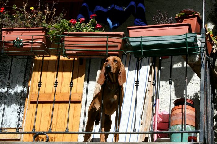 Dog At Balcony Dog And Flowers At The Balcony Looking For Freedom From The Balcony Flowers In Vases Blooming Balcony Flowered Balcony Blooming Piedmont Italy Dog Watching Watching Dog EyeEmNewHere Long Goodbye Pet Portraits