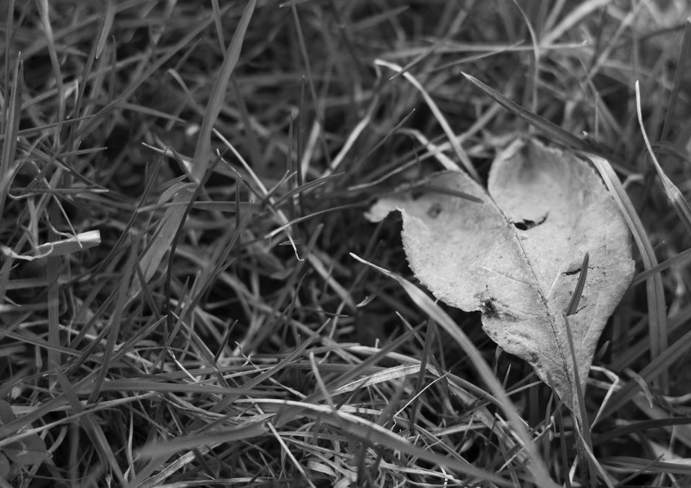 Found this beautiful leaf suddenly on a meadow Heart Shape Heart Blackandwhite Black & White Meadow Macro Grass Sad Lovesick Grass Nature Growth Outdoors Leaf Close-up No People Day Beauty In Nature BYOPaper!