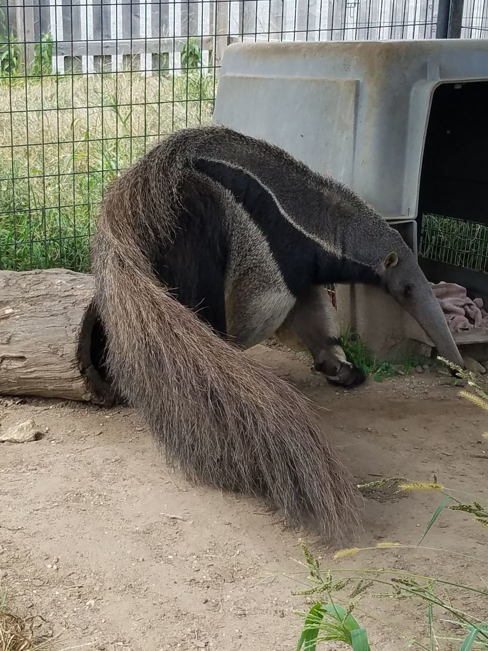 Anteater Animal Photography Animals