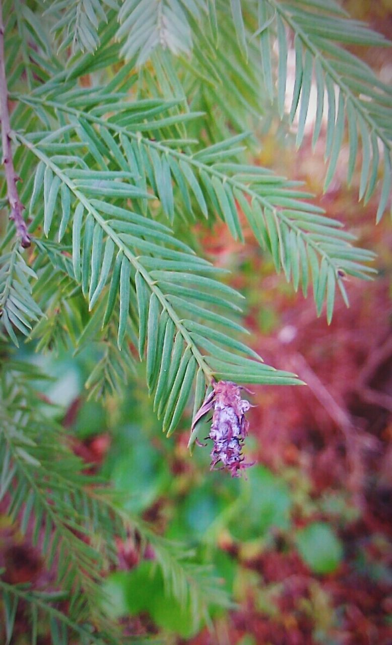 growth, nature, green color, no people, plant, pine tree, tree, branch, beauty in nature, outdoors, close-up, day, freshness