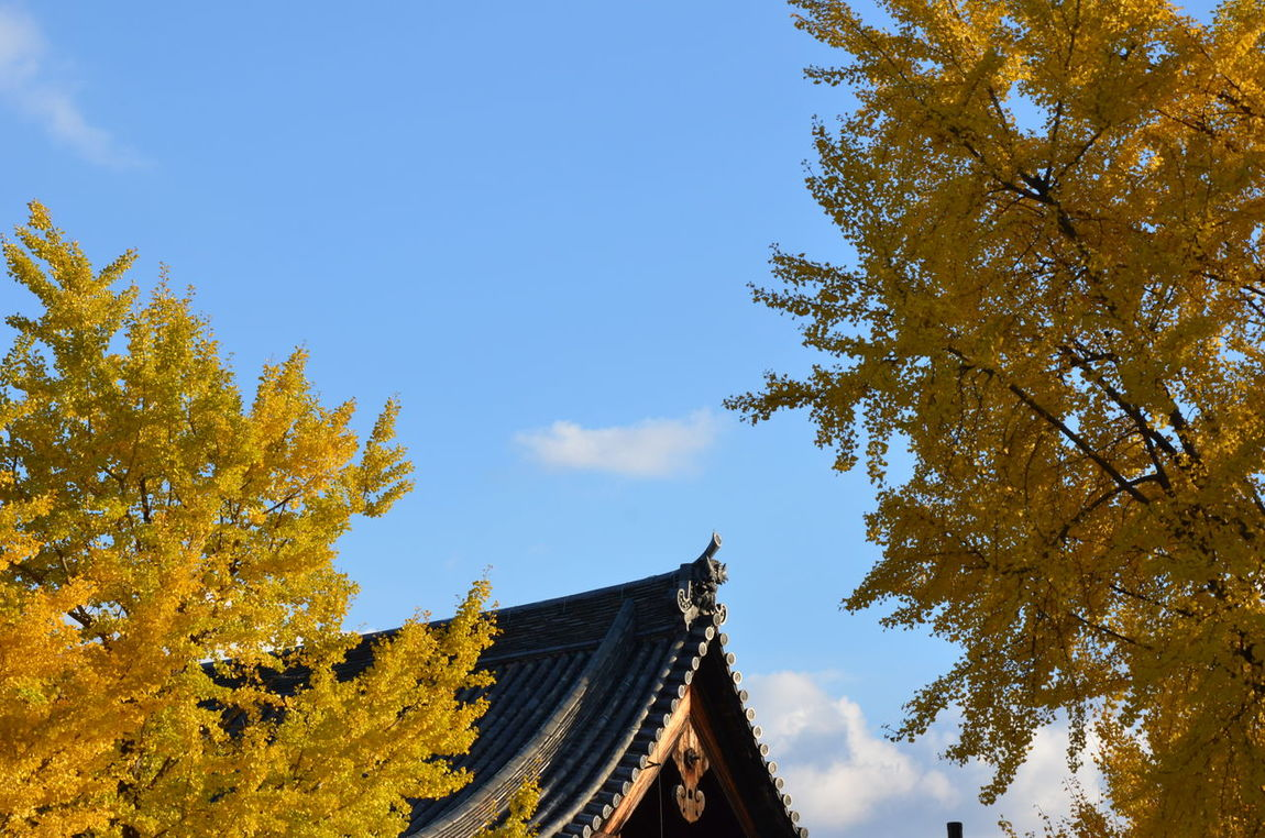 Agriculture Autumn Leaves Change Clear Sky Copy Space Culture Day Fallseason Field Ginkgo Growth High Section Japanese Temple Landscape Outdoors Religion Rural Scene Sky Spirituality Tree Altars Yellow Leaves