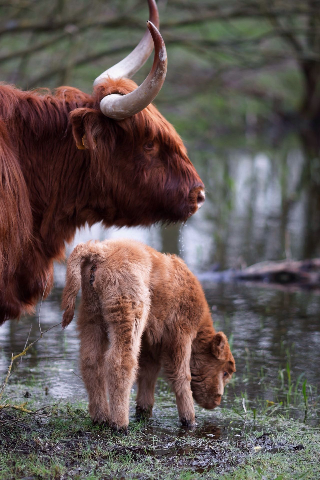 Babygirl Newly Born Spring 2017 Highland Cattle Animals In The Wild Animal Themes Outdoors Brown Mammal Domestic Animals Water No People Livestock Highland Cattle Day Grass Nature