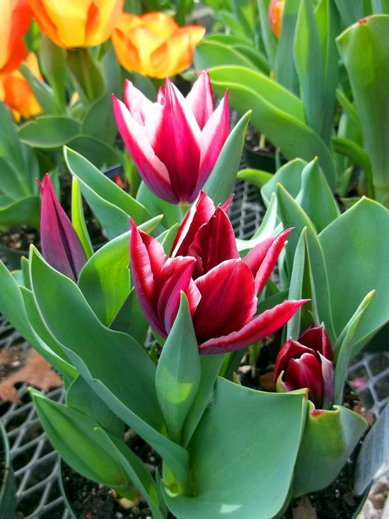 Lily-flowered or pointed-petal tulips Beauty In Nature Close-up Day Dramatic Flower Flower Flower Garden Flower Head Fragility Freshness Gardening Green Color Growth Leaf Lily Flowered Tulip Nature No People Outdoors Petal Plant Pointed Petals Spiked Flower Spring Flowers Tulips