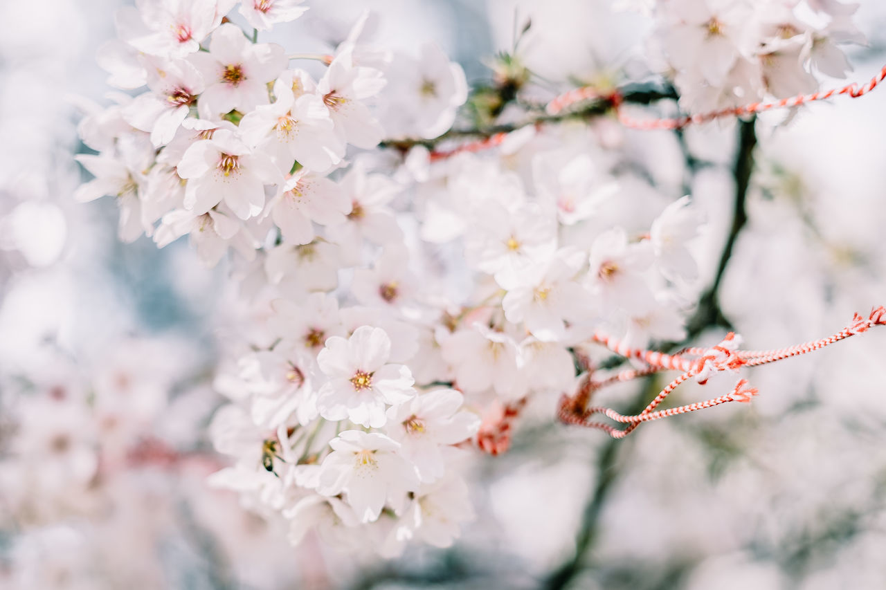 Spring Coming to Brussels Beauty In Nature Blooming Branch Cherry Blossom Cherry Tree Flower Flower Head Freshness Growth Nature Springtime Tree Twig White Color