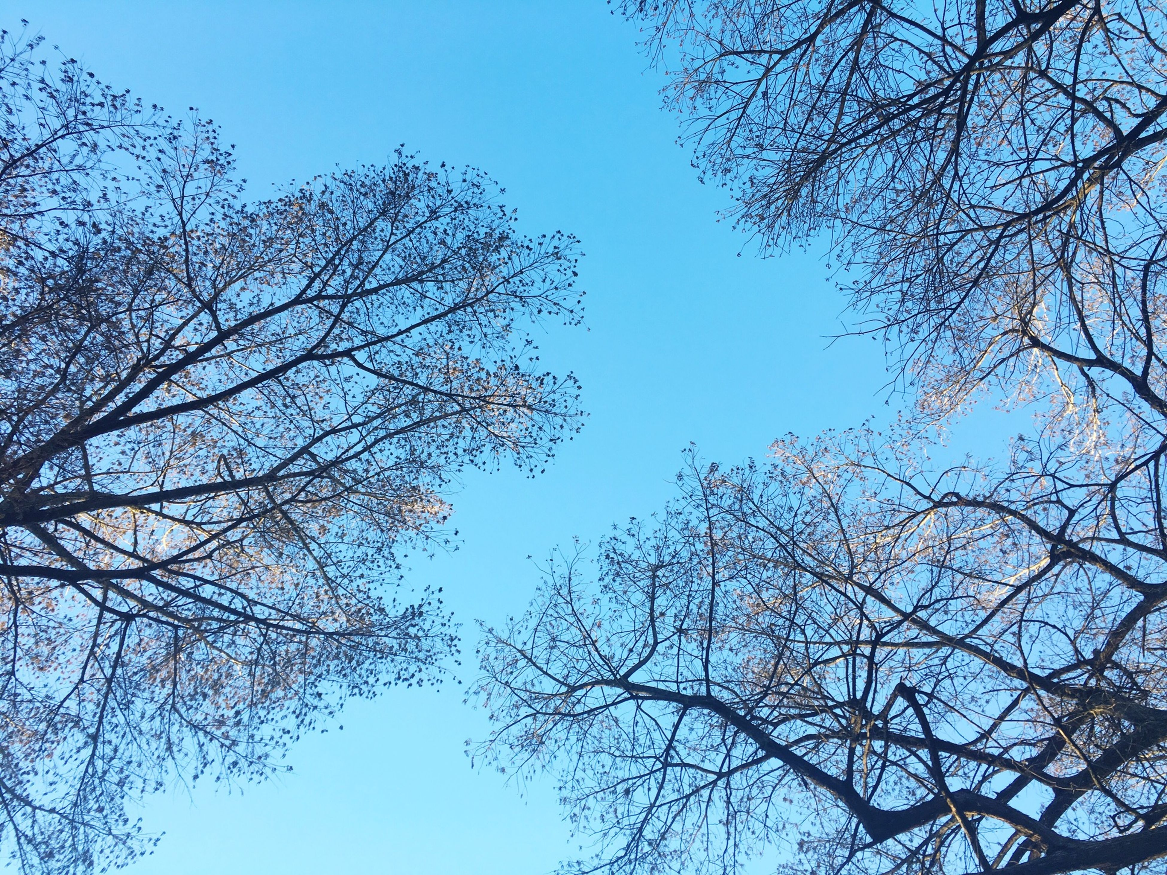 tree, branch, low angle view, clear sky, bare tree, blue, nature, tranquility, beauty in nature, sky, growth, scenics, day, outdoors, no people, high section, tranquil scene, copy space, silhouette, sunlight