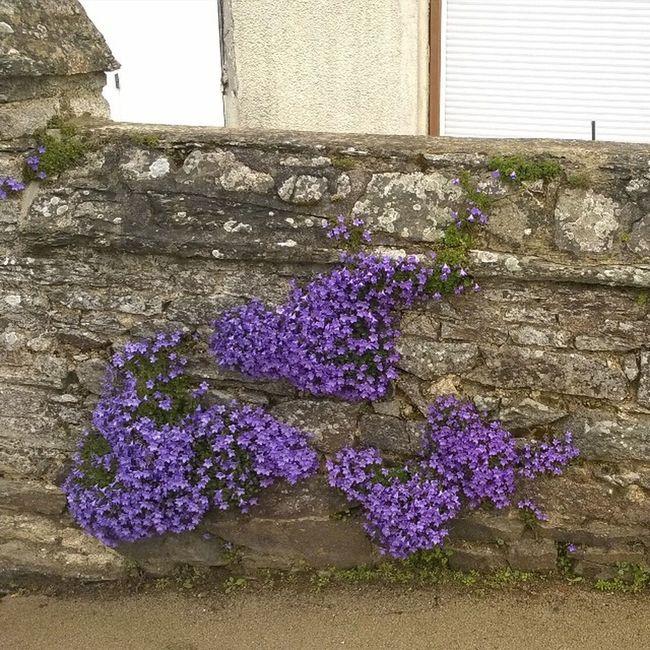 Des Fleurs sur le Mur du Presbytere de Taupont Flowers on the Wall of the Presbytere of Taupont Bretagne Breizh Jaimelabretagne Fansdebretagne Morbihan Miamorbihan Nature Natura Flowergram Fleursgram Instagram Instaflower