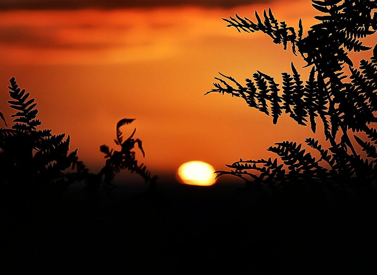 sunset, tree, orange color, silhouette, beauty in nature, nature, scenics, sun, no people, outdoors, tranquil scene, growth, sky, leaf, moon, close-up, day