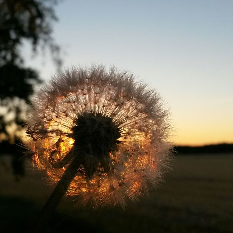 Evening light EyeEm Nature Lover Golden Moment Beauty In Nature Dandelion Collection Dandelion Seeds Dandelion Seed Head Dandelionfluff In The Evening Sun In The Evening Silence Silence Sunset_collection Sunset n Sweden