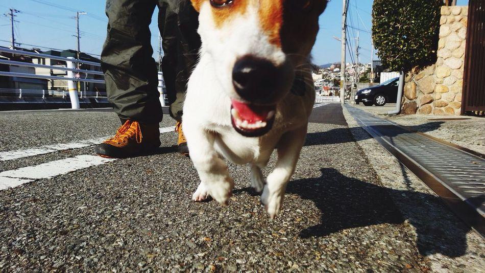 Max Takahashi Running Jackrussell Dog