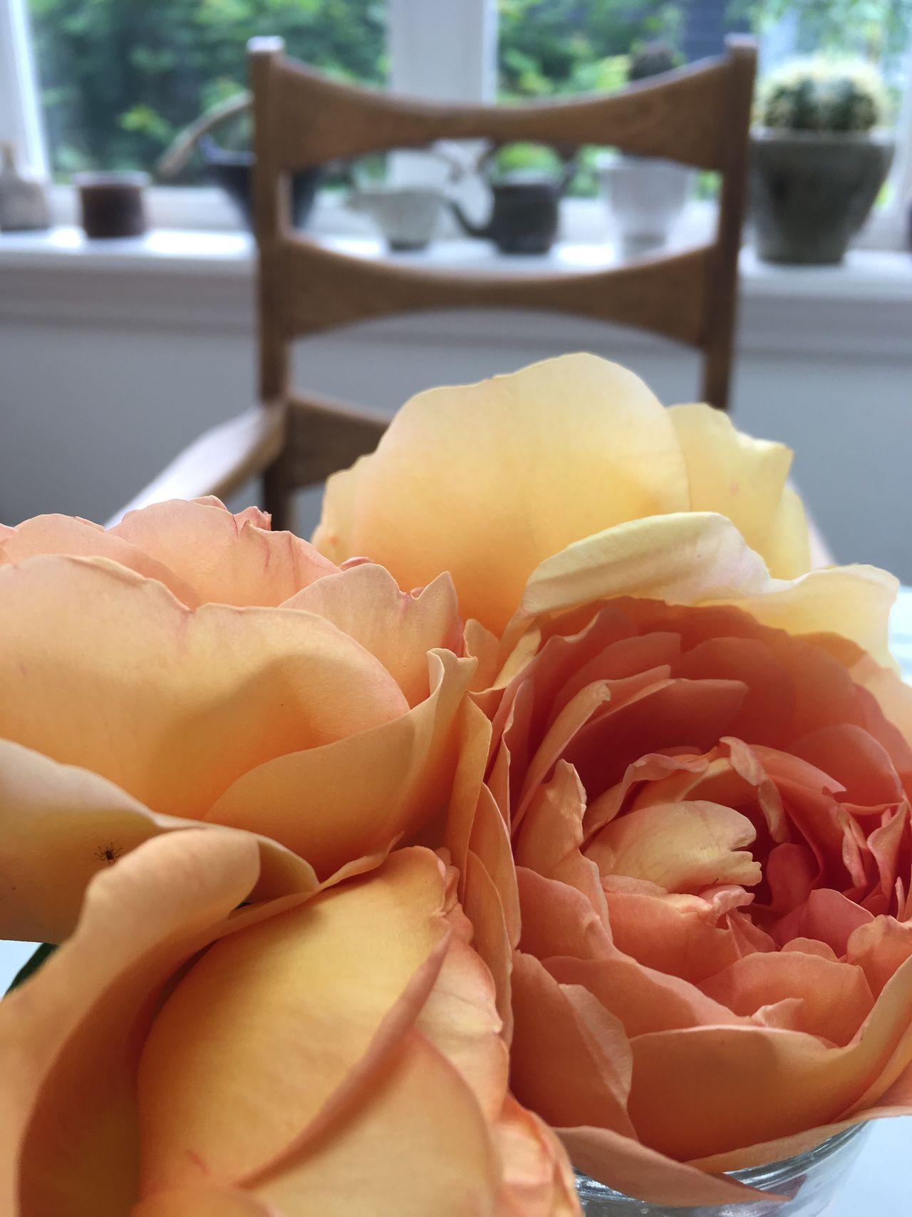 Flower Rose - Flower Soft Indoors  Petal Close-up