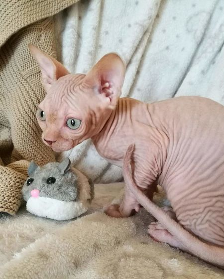 One Animal Portrait Mammal Pets Animal Themes Indoors  Domestic Animals No People Close-up Sphynx Cat Cat Animal Body Part Young Animal Sphynxlove Sphynxportrait Animal Nature Sphynx Cute