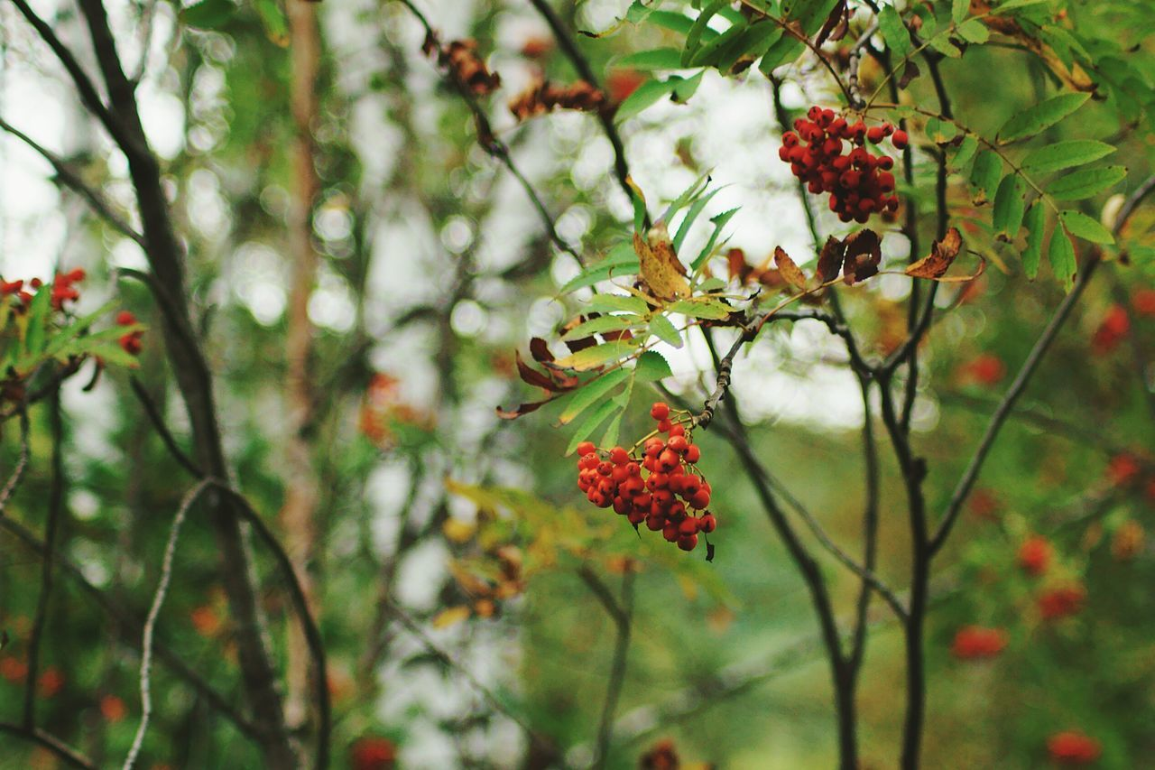 Red Berries Growing On Branch Of Tree