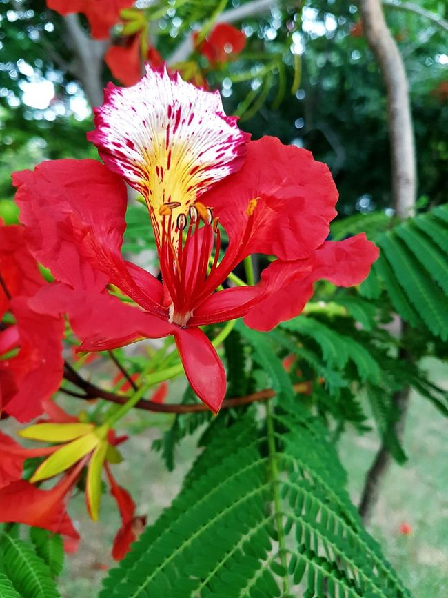 Flower Freshness Fragility Growth Beauty In Nature Petal Flower Head Close-up Nature Red In Bloom Focus On Foreground Blossom Vibrant Color Puertorico Flamboyan Taking Photos Bloom Enjoying Life Green Nature Beauty In Nature Single Flower